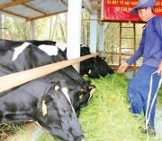 Gia đình ông Bùi Văn Thanh chuyển từ chăn nuôi bò thịt sang nuôi bò sữa thích ứng với biến đổi khí hậu.