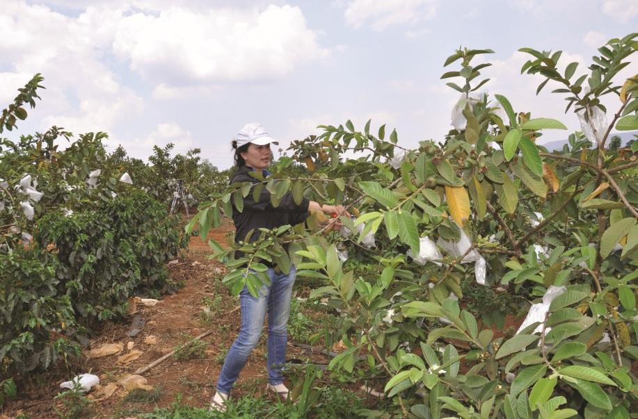 Vườn ổi ứng dụng công nghệ cao ở thôn 8, xã Quảng Khê, huyện Đăk G'long.