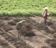 Người dân Tràng Định thu hoạch thạch đen vụ xuân-hè năm 2019.