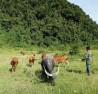 Dự án trồng, chăm sóc bảo vệ khai thác rừng do Tổng Công ty Hợp tác kinh tế Việt Lào tại xã Tân Thành, huyện Yên Thành trở thành nơi chăn trâu, bò.