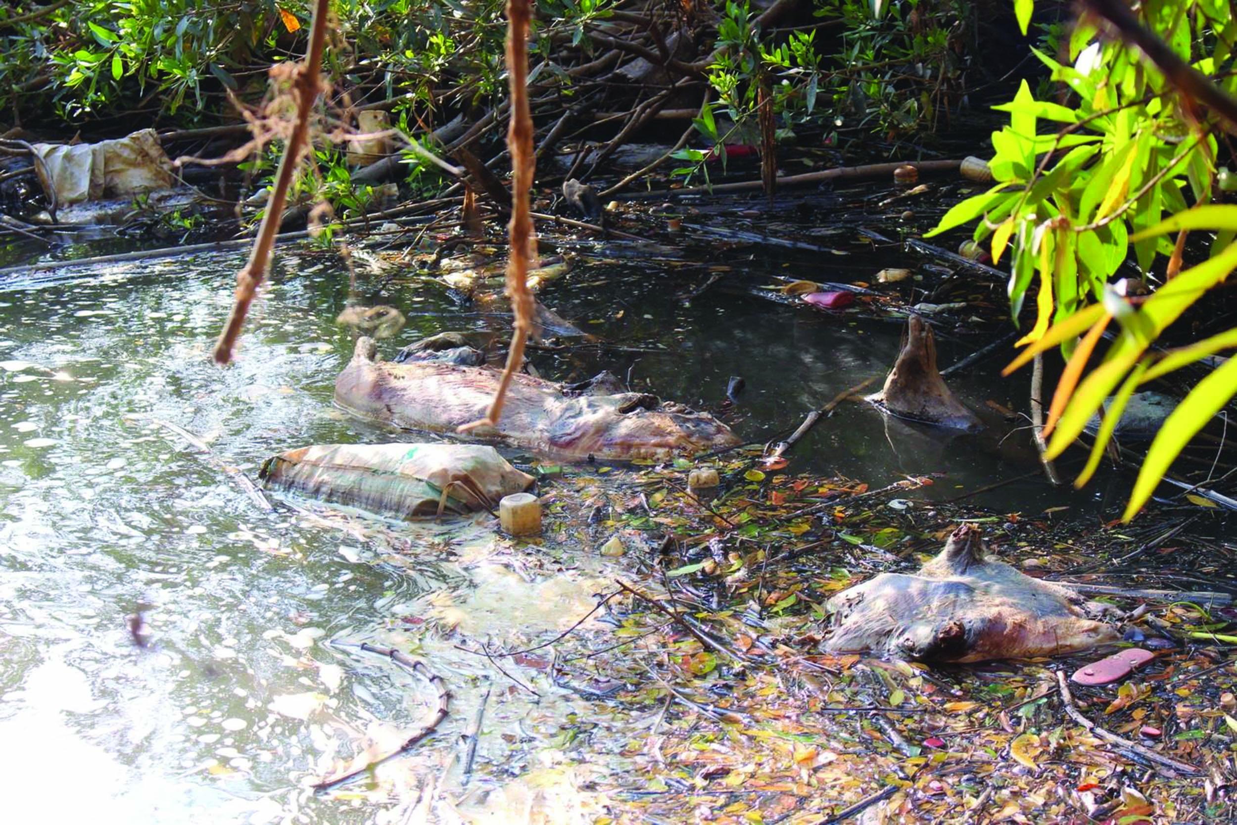 Nhiều xác lợn chết trôi nổi trên suối Cam Ly (đoạn qua địa phận huyện Lâm Hà, tỉnh Lâm Đồng).