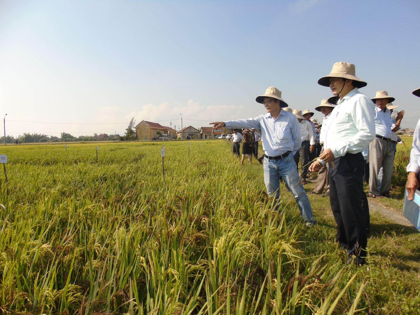 Nhờ áp dụng tiến bộ khoa học, năng xuất lúa của huyện Tây Hòa đạt 80 tạ/ha, góp phần tăng thu nhập cho người dân
