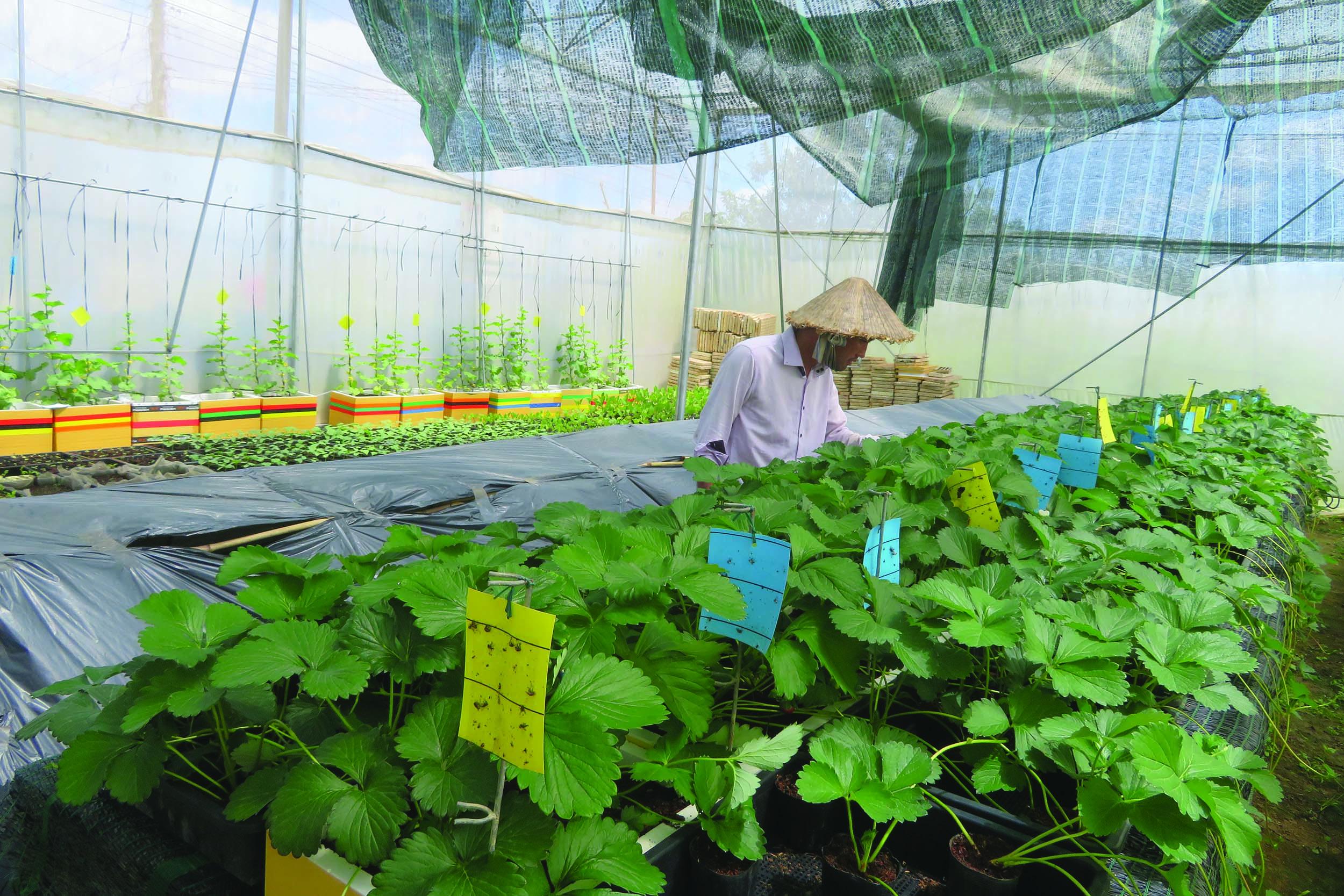 Anh Nenji chăm sóc vườn ươm giống dâu tây.