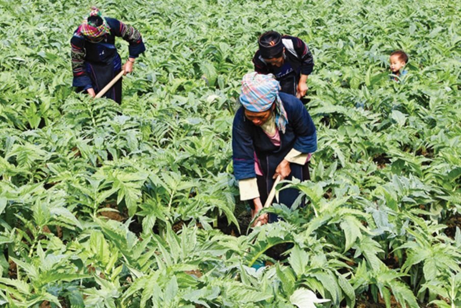 Người dân trồng cây dược liệu actiso ở Hà Giang.