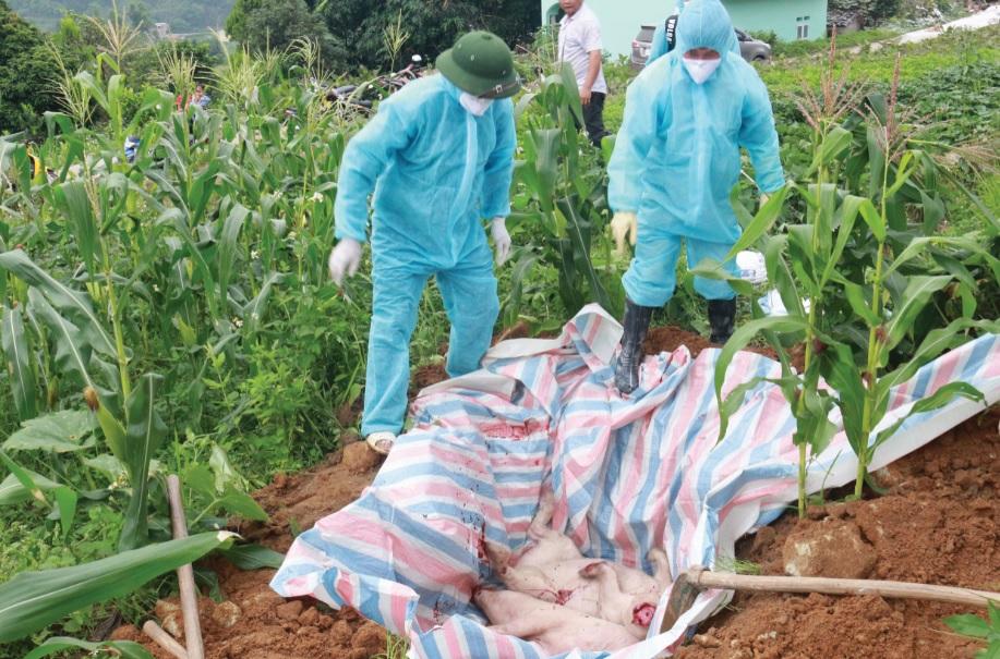 Lực lượng thú y tiến hành tiêu hủy lợn dịch.