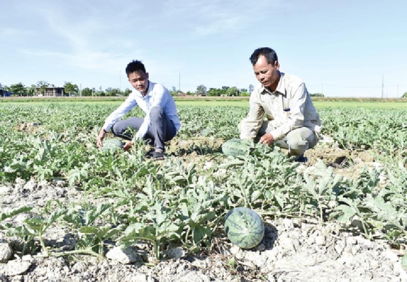 Nhiều hộ dân ở xã Gio Phong, huyện Gio Linh chuyển sang trồng dưa hấu để thích ứng với hạn hán.