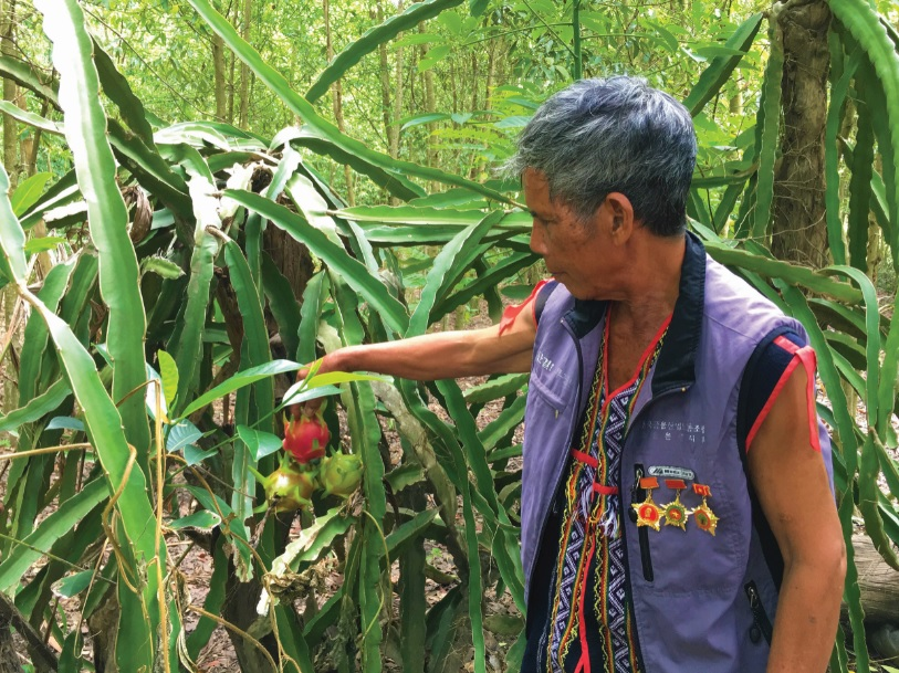 Già A Nguyh đang chăm sóc vườn thanh long tại nhà.