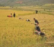 Sản xuất nông nghiệp của bà con Lùng Cúng vẫn theo phương thức truyền thống. (Trong ảnh: Bà con Lùng Cúng thu hoạch lúa.)