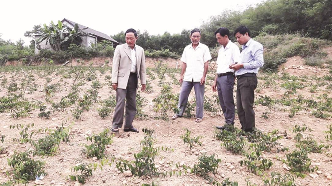 Cây chè vằng là một trong các loại cây thích hợp với khí hậu khô hạn.