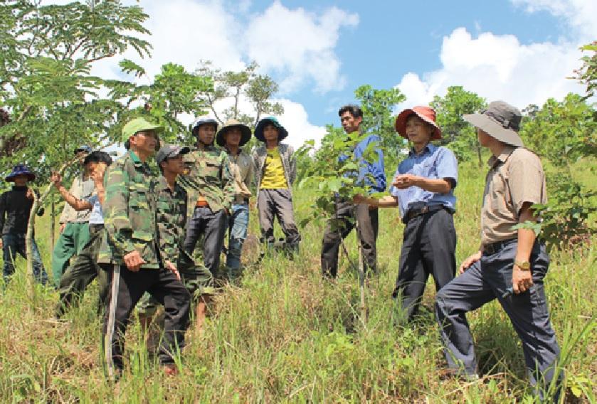 Cây bời lời được nhiều người dân trồng góp phần giảm nghèo ở Hướng Hóa.