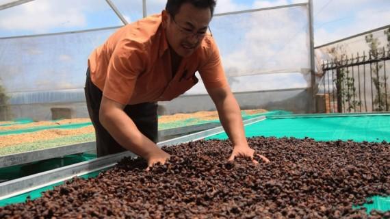 Sản phẩm trà Cascara làm từ vỏ quả cà phê Arabica sẽ góp phần làm tăng giá trị kinh tế cho cây cà phê Cầu Đất. Ảnh: V.Quỳnh