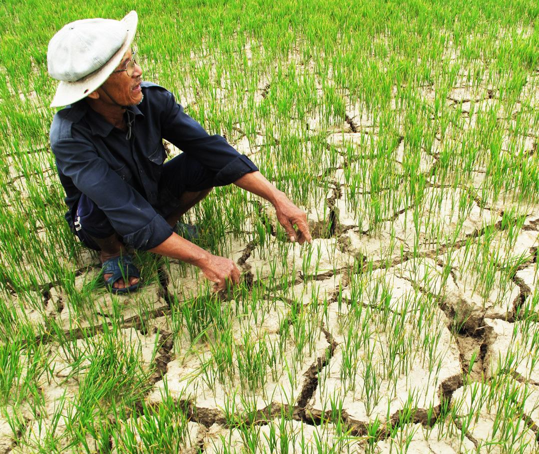 Hàng trăm ha lúa ở Bình Định khô nức nẻ vì thiếu nước.