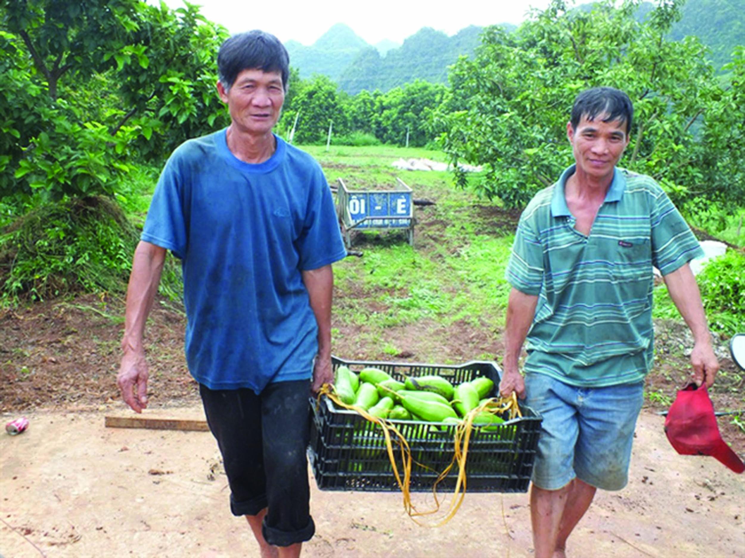 Người dân Nghệ An thu hoạch bơ.