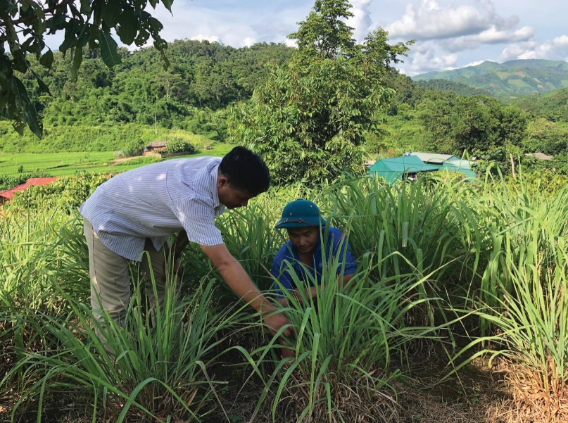 Trồng và chăm sóc cây sả ở xã Leng Su Sìn huyện Mường Nhé.