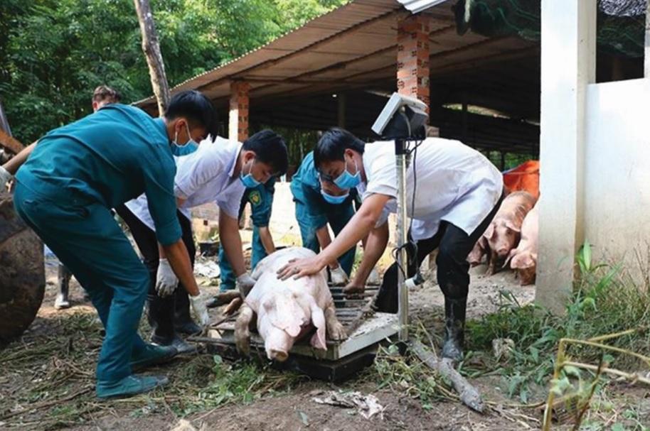 Cán bộ thú y cân kiểm tra trọng lượng lợn bị tiêu hủy.