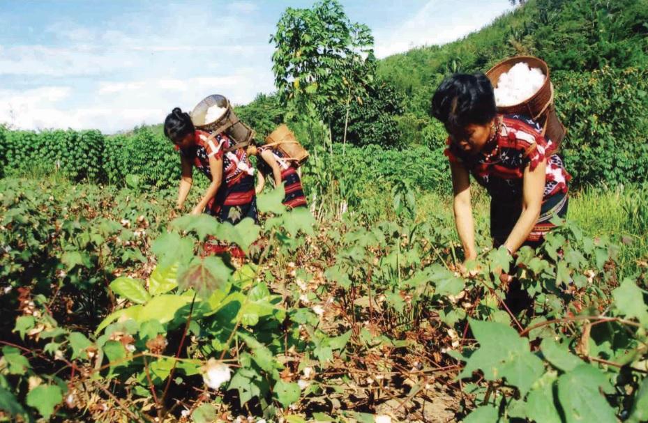 Người Cơ-tu trồng và thu hoạch bông vải.