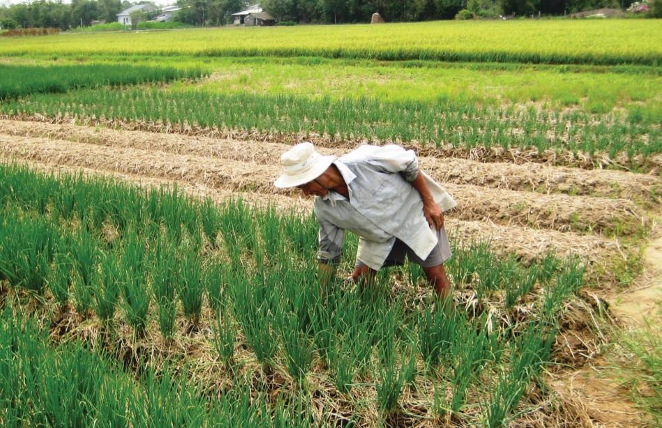 Người dân Giồng Riềng (Kiên Giang) đã chủ động chuyển đổi cây trồng nhưng vẫn thiếu nước tưới.