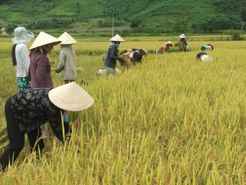 Mô hình trồng lúa lai ở huyện Sông Hinh phát huy hiệu quả.