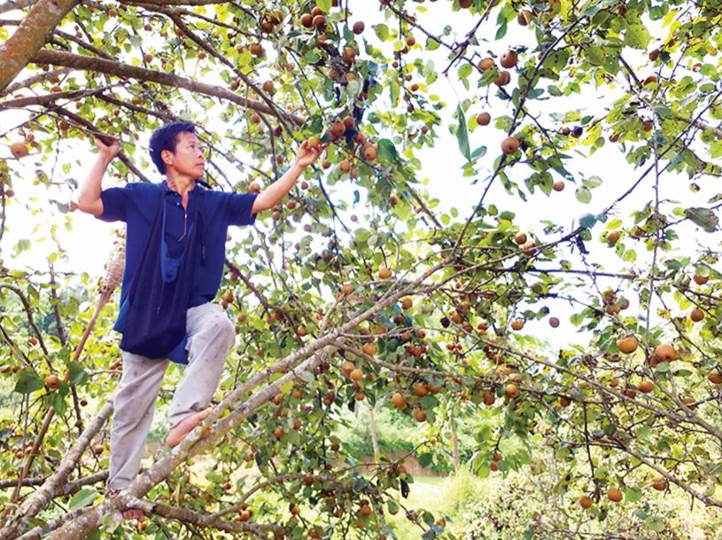Cây lê vàng của huyện Thạch An đã mang lại hiệu quả kinh tế cho người dân trên địa bàn.