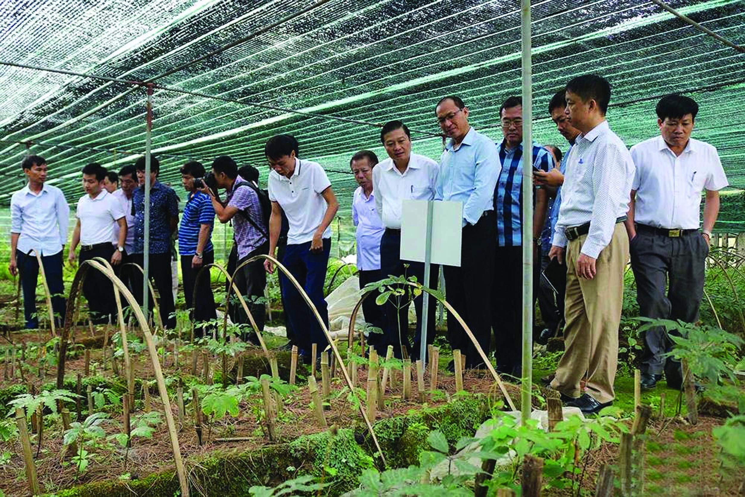 Cây thìa canh loại cây dược liệu đang được trồng thử nghiệm ở huyện Con Cuông.